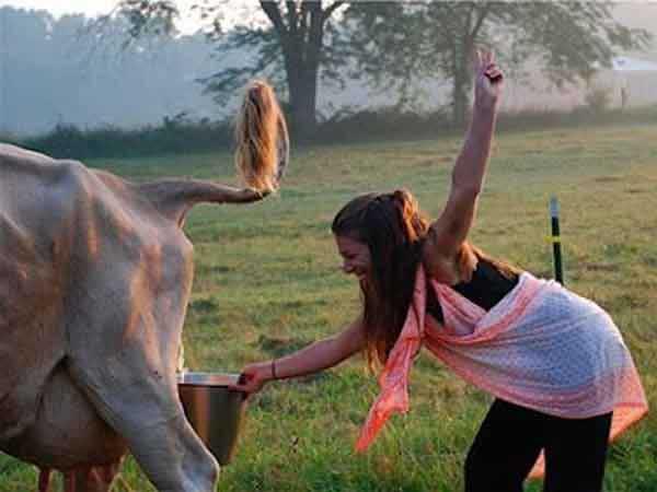 cow urine | आयुर्वेद की माने तो गौ मूत्र सेहत का खजाना हैं